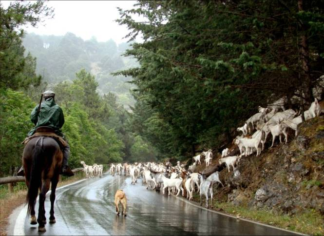 camino de arroyo frío con cabra blanca andaluza (2)