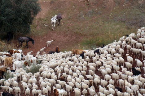 ovejas segurenas por cañada morales